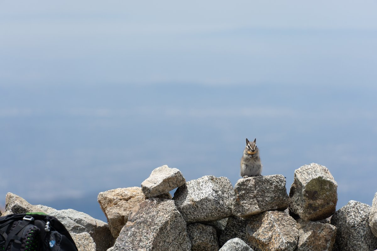 A lodgepole chipmunk fortuitously poses, gazing into the camera, atop a jumble of what looks like a granite rock wall.