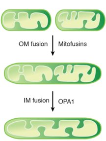 outer membrane and inner membrane fusion