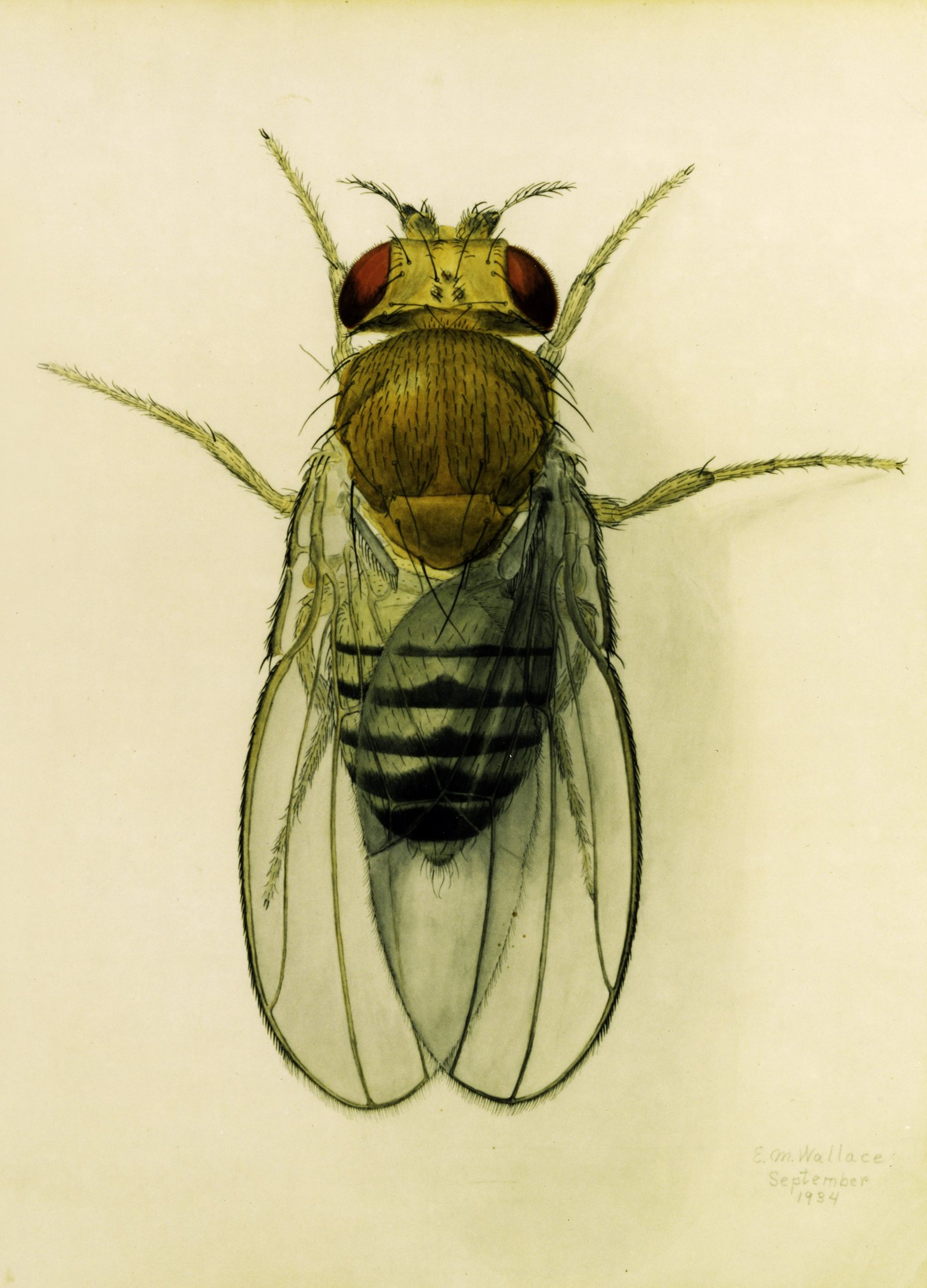 Illustration of a drosophila
