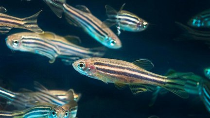 Photograph of zebra fish swimming