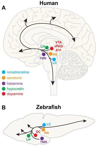 Chiu-and-Prober-2013-neuroanatomy.jpg