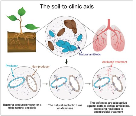 A graphic of the soil-to-clinic axis. Bacteria that produce or encounter a toxic natural antibiotic turn on cellular defenses, which are also active against certain clinical antibiotics. This increases resilience to antimicrobial treatments in a clinical setting.
