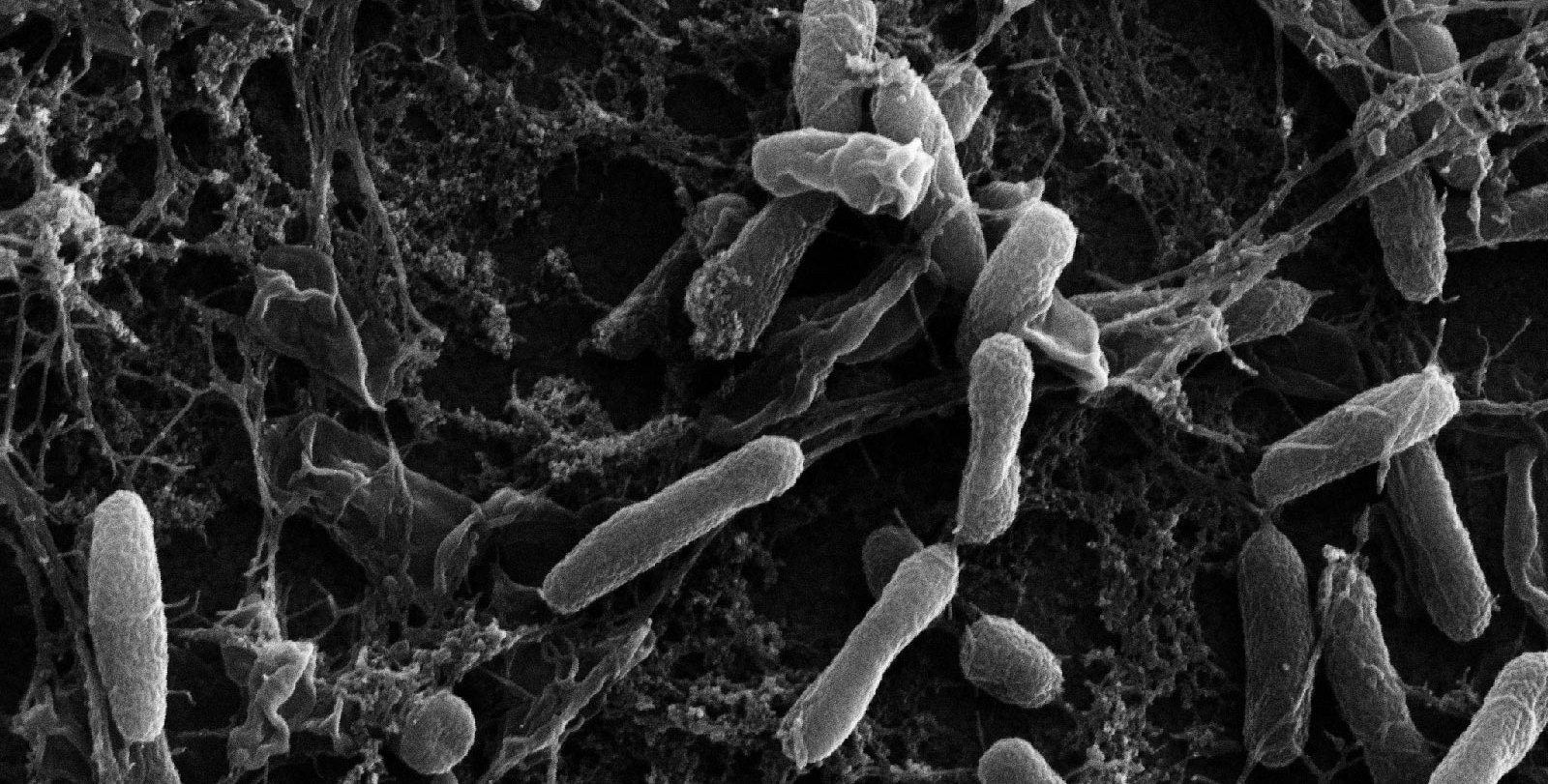 Black and white microscope image of pill-shaped bacteria