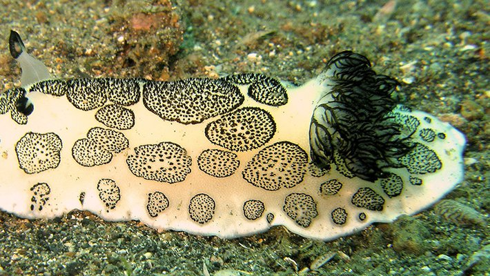 A black-and-white sea slug crawls over an ocean bottom.