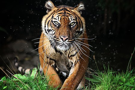 Image of a tiger running toward the viewer