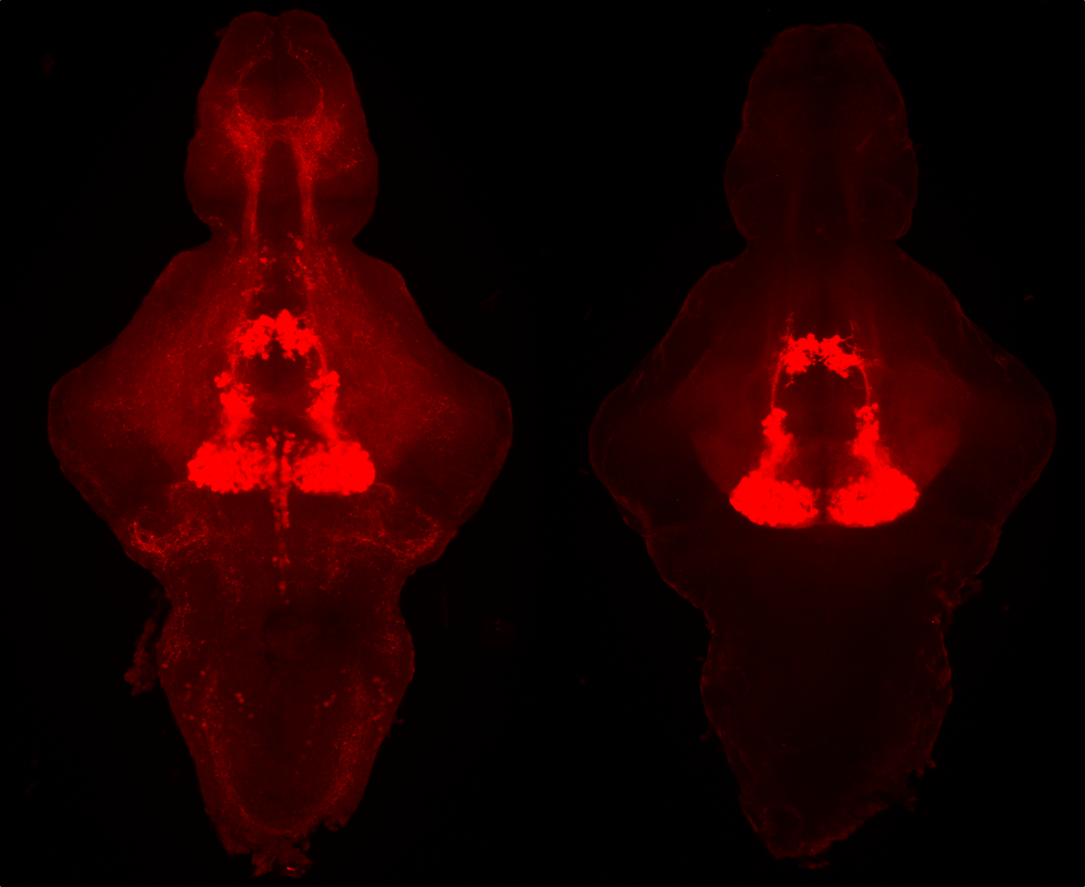 Two zebrafish brains with serotonin molecules shown in red.