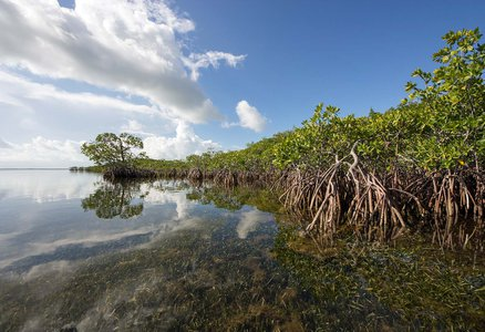 mangrove trees and roots underwater