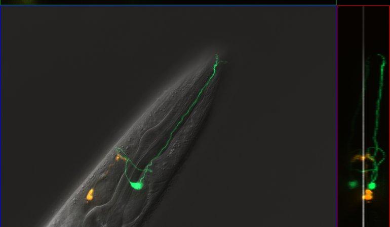 C. elegans Image