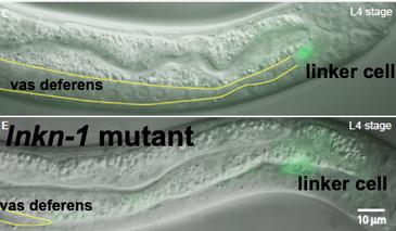 LNKN Mutant Worm